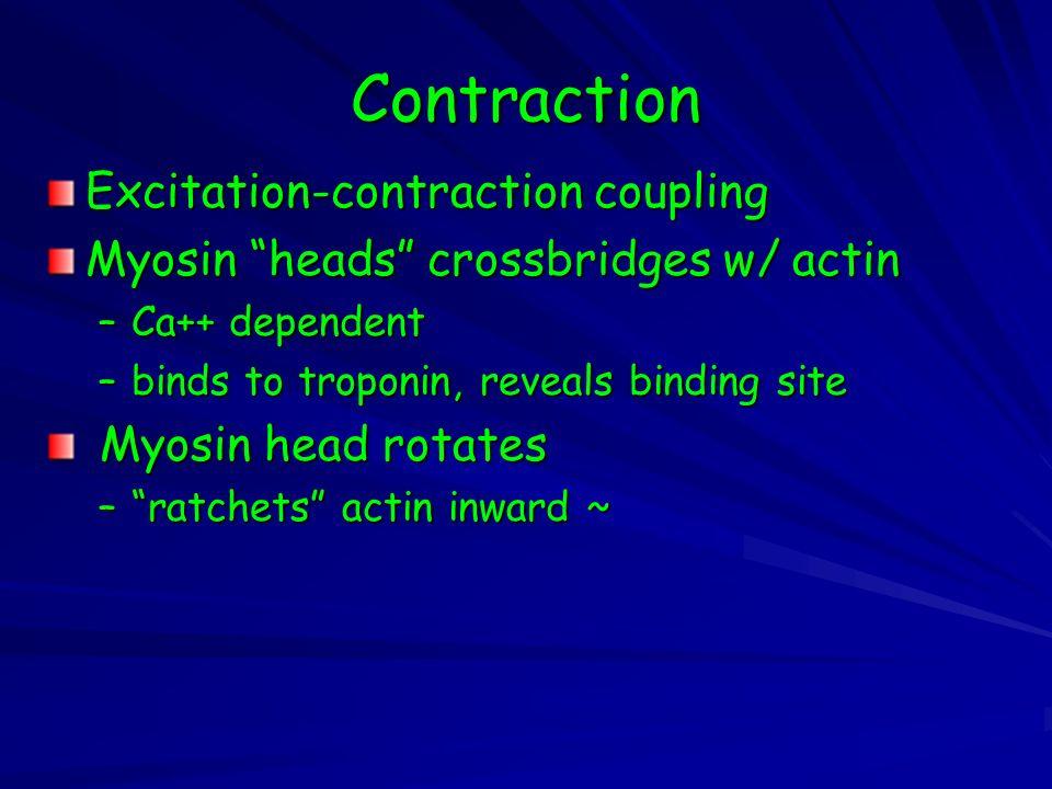 Contraction Excitation-contraction coupling Myosin heads crossbridges w/ actin –Ca++ dependent –binds to troponin, reveals binding site Myosin head rotates Myosin head rotates – ratchets actin inward ~
