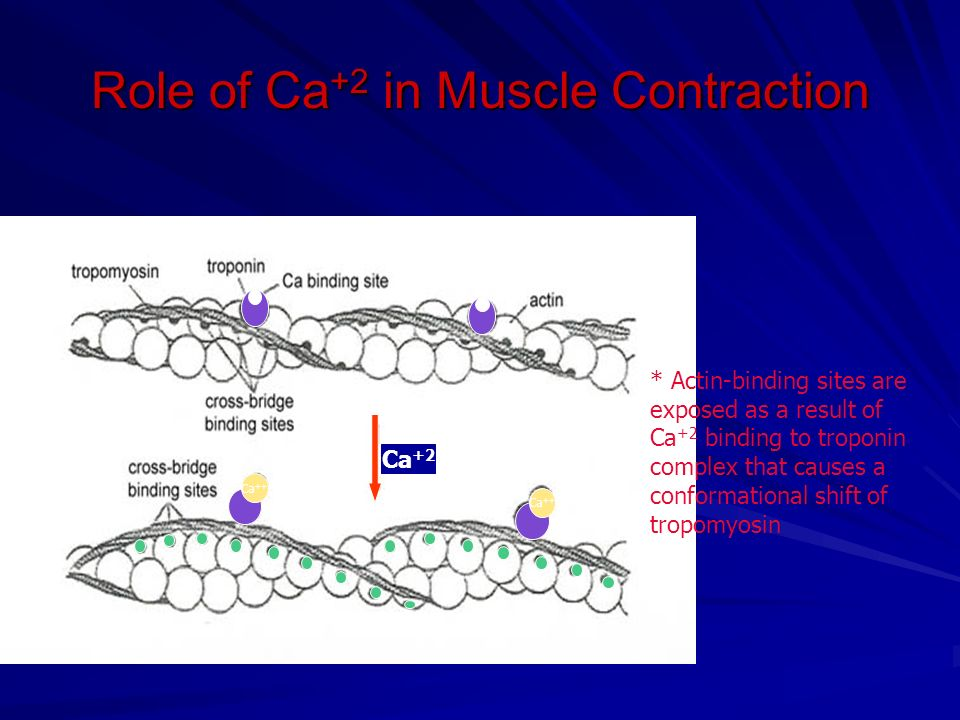 Role of Ca +2 in Muscle Contraction Ca +2 Ca ++ * Actin-binding sites are exposed as a result of Ca +2 binding to troponin complex that causes a conformational shift of tropomyosin