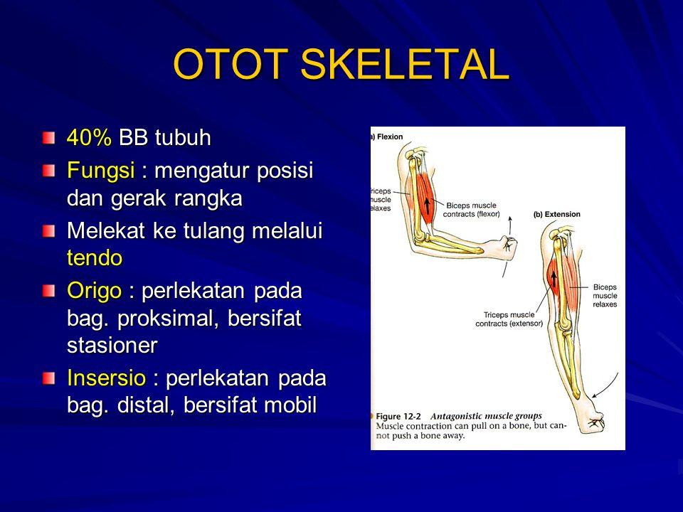 OTOT SKELETAL 40% BB tubuh Fungsi : mengatur posisi dan gerak rangka Melekat ke tulang melalui tendo Origo : perlekatan pada bag.