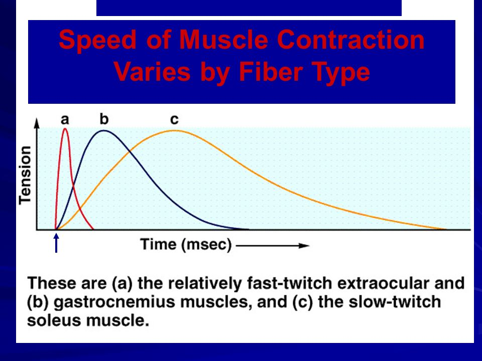 Speed of Muscle Contraction Varies by Fiber Type