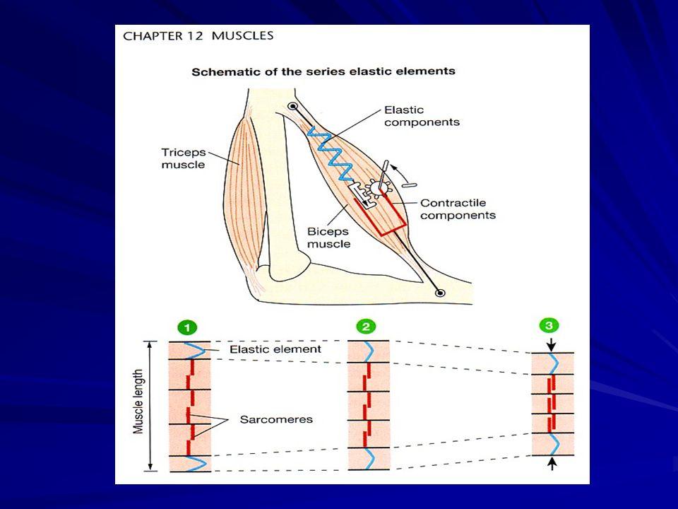 USAHA OTOT Lever/ lengan  dibentuk oleh rangka Fulcrum/ sumbu  dibentuk sendi W = F x d W  (otot) = W  (beban) Insersi bisep 5 cm dari siku Panjang lengan 20 cm Berat beban 5 kg Berapa usaha otot bisep mengangkat beban .
