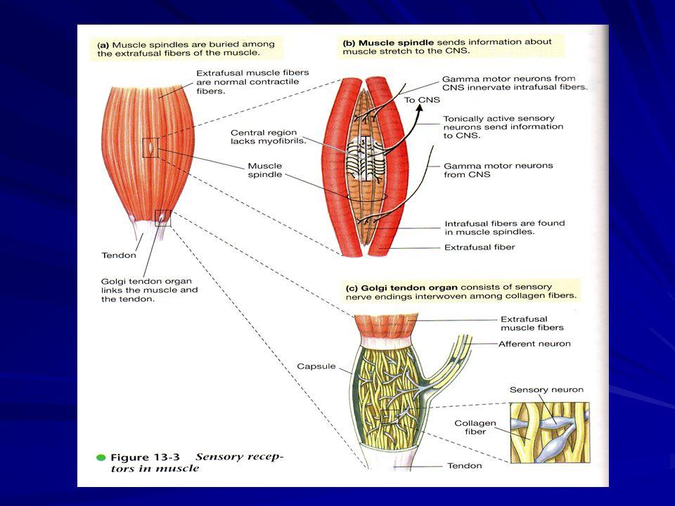 Reseptor Sendi Terdapat di kapsul sendi dan ligamen Distimulasi oleh distorsi mekanik krn perubahan sudut, beban dan posisi sendi & tulang Pusat pengaturan di cerebellum