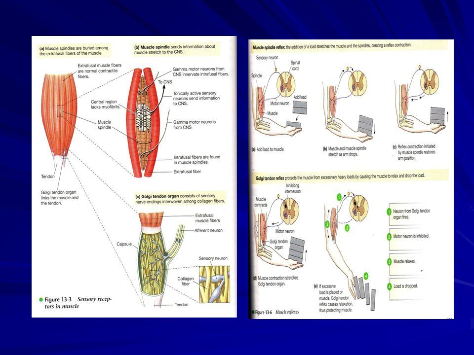 Knee Jerk reflexes; merangsang spindle otot Flexion reflexes; menghindari bahaya