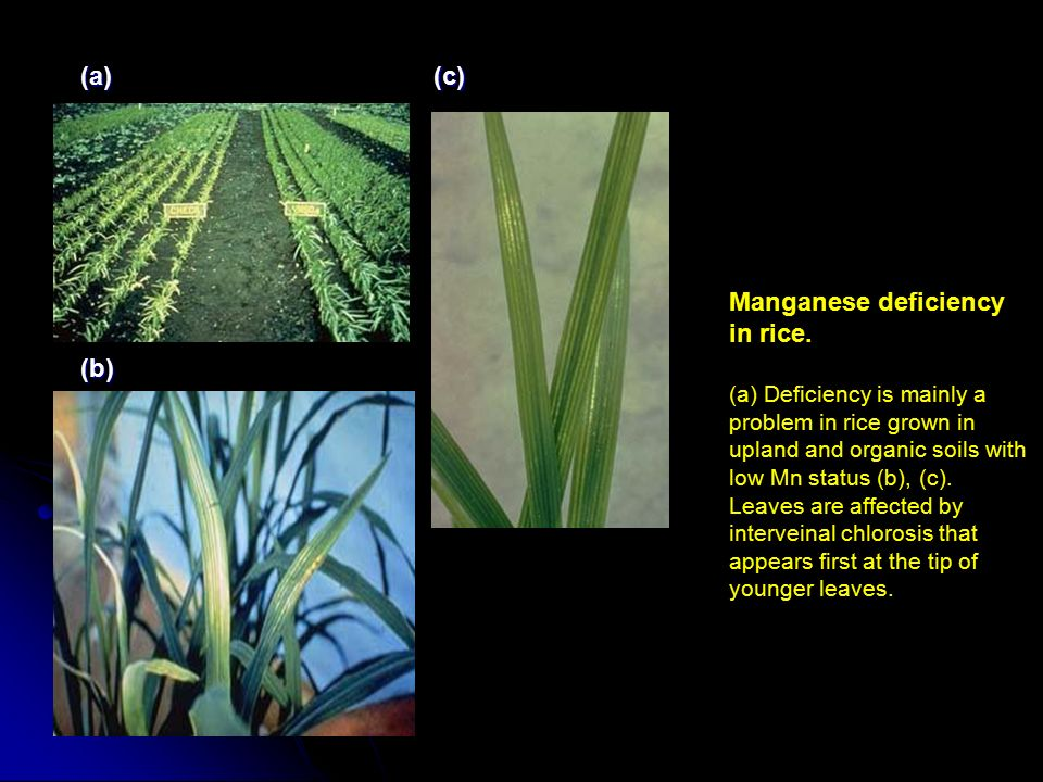 (a) (a) (c) (c) Manganese deficiency in rice. (a) Deficiency is mainly a problem in rice grown in upland and organic soils with low Mn status (b), (c)