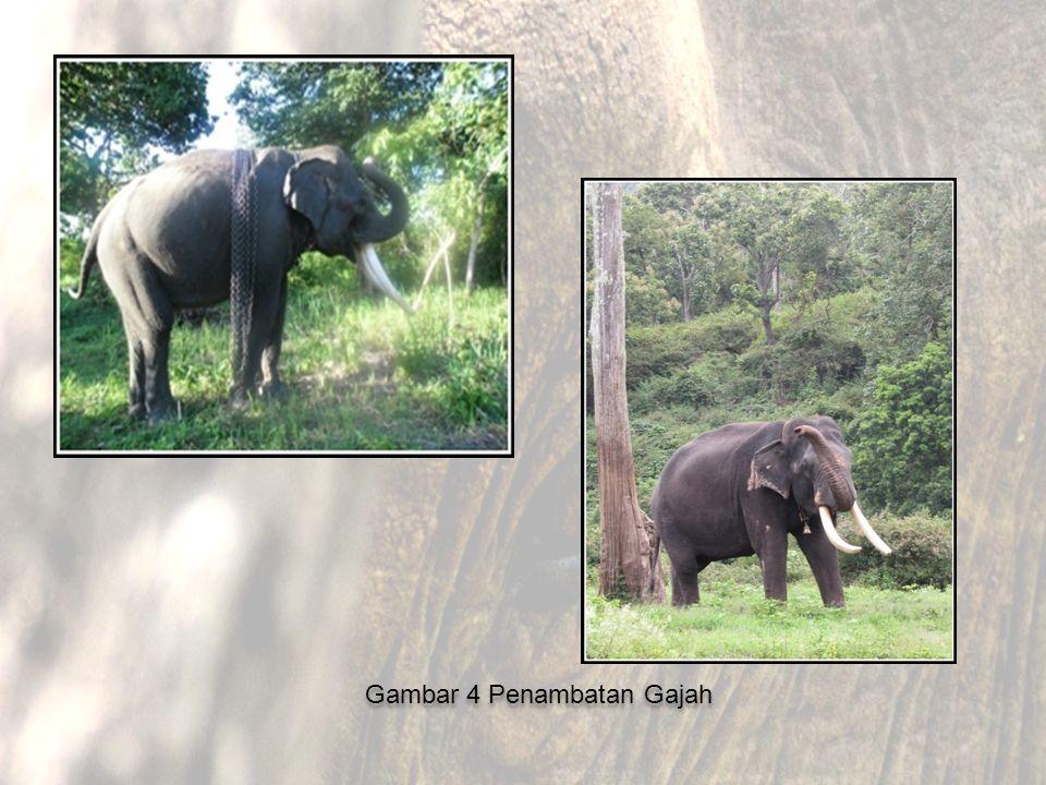 Gambar 4 Penambatan Gajah