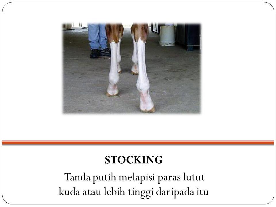 STOCKING Tanda putih melapisi paras lutut kuda atau lebih tinggi daripada itu