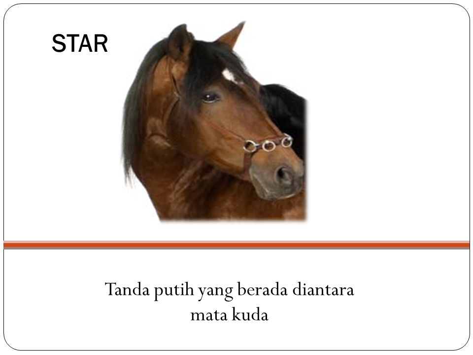 STAR Tanda putih yang berada diantara mata kuda