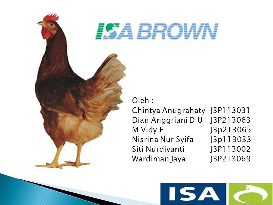  Perkembangan ayam ras petelur semakin maju dari hasil persilangan genetik berbagai ras ayam unggulan seluruh dunia.