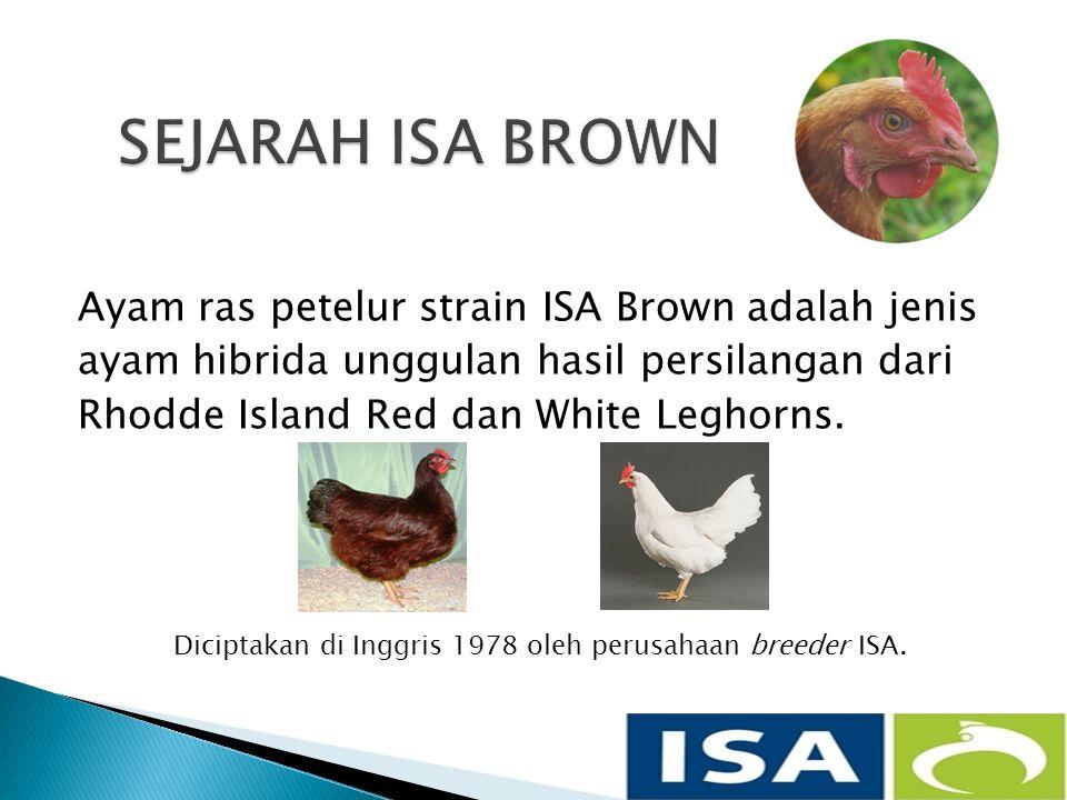 Ayam ras petelur strain ISA Brown adalah jenis ayam hibrida unggulan hasil persilangan dari Rhodde Island Red dan White Leghorns.