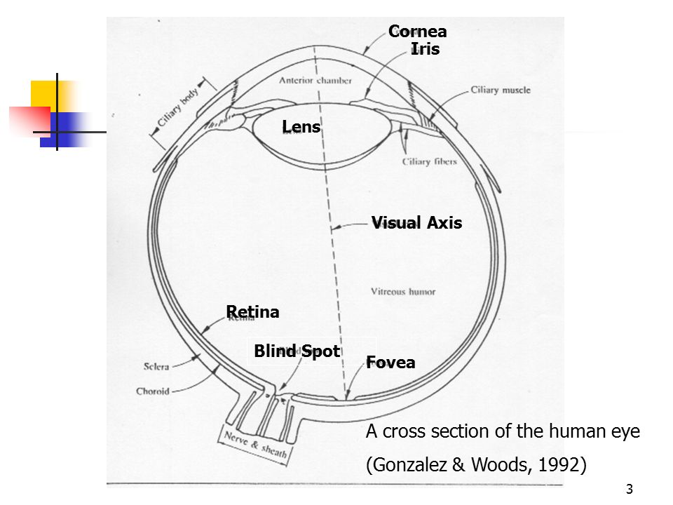 3 A cross section of the human eye (Gonzalez & Woods, 1992) Retina Blind Spot Fovea Iris Lens Visual Axis Cornea