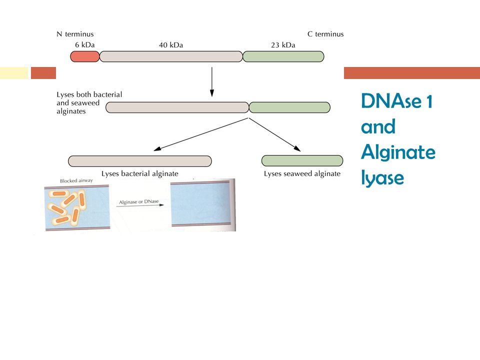 DNAse 1 and Alginate lyase