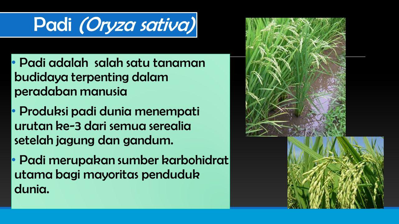 Padi (Oryza sativa) Padi adalah salah satu tanaman budidaya terpenting dalam peradaban manusia Produksi padi dunia menempati urutan ke-3 dari semua serealia setelah jagung dan gandum.