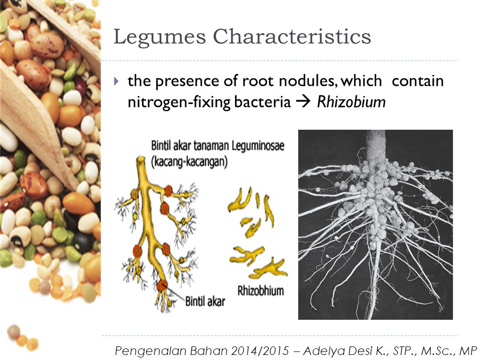 Legumes Characteristics  the presence of root nodules, which contain nitrogen-fixing bacteria  Rhizobium Pengenalan Bahan 2014/2015 – Adelya Desi K., STP., M.Sc., MP
