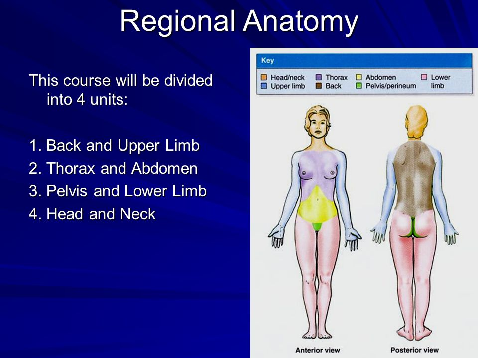 Regional Anatomy This course will be divided into 4 units: 1. Back and Upper Limb 2. Thorax and Abdomen 3. Pelvis and Lower Limb 4. Head and Neck