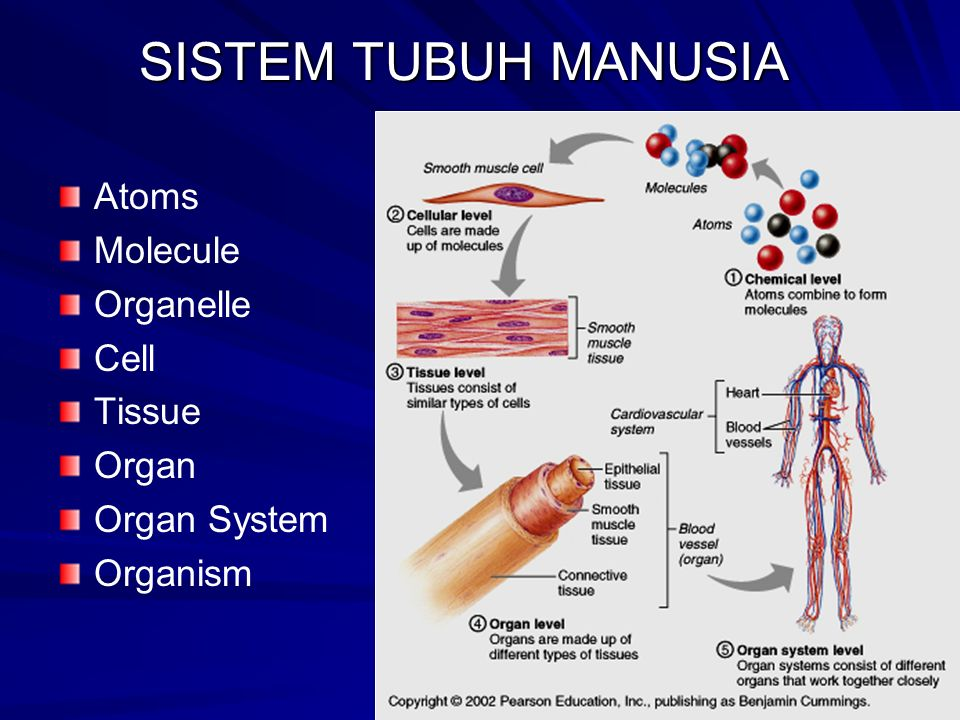 SISTEM TUBUH MANUSIA Atoms Molecule Organelle Cell Tissue Organ Organ System Organism