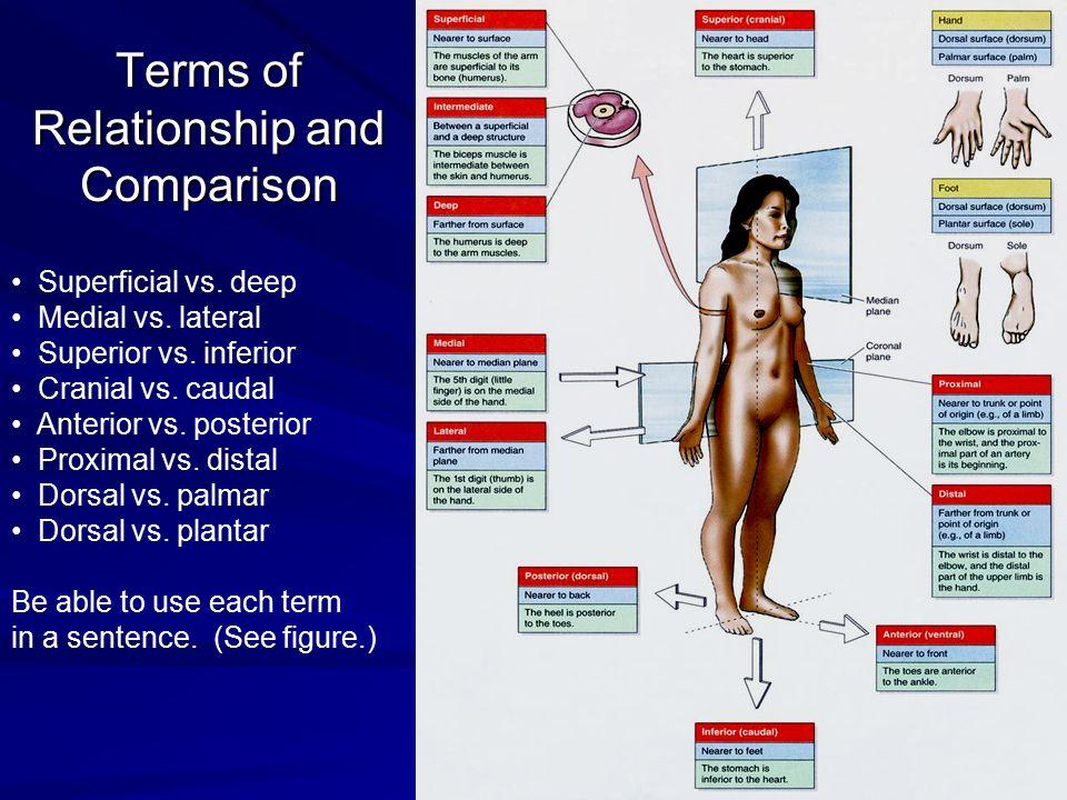 Terms of Relationship and Comparison Superficial vs. deep Medial vs. lateral Superior vs. inferior Cranial vs. caudal Anterior vs. posterior Proximal