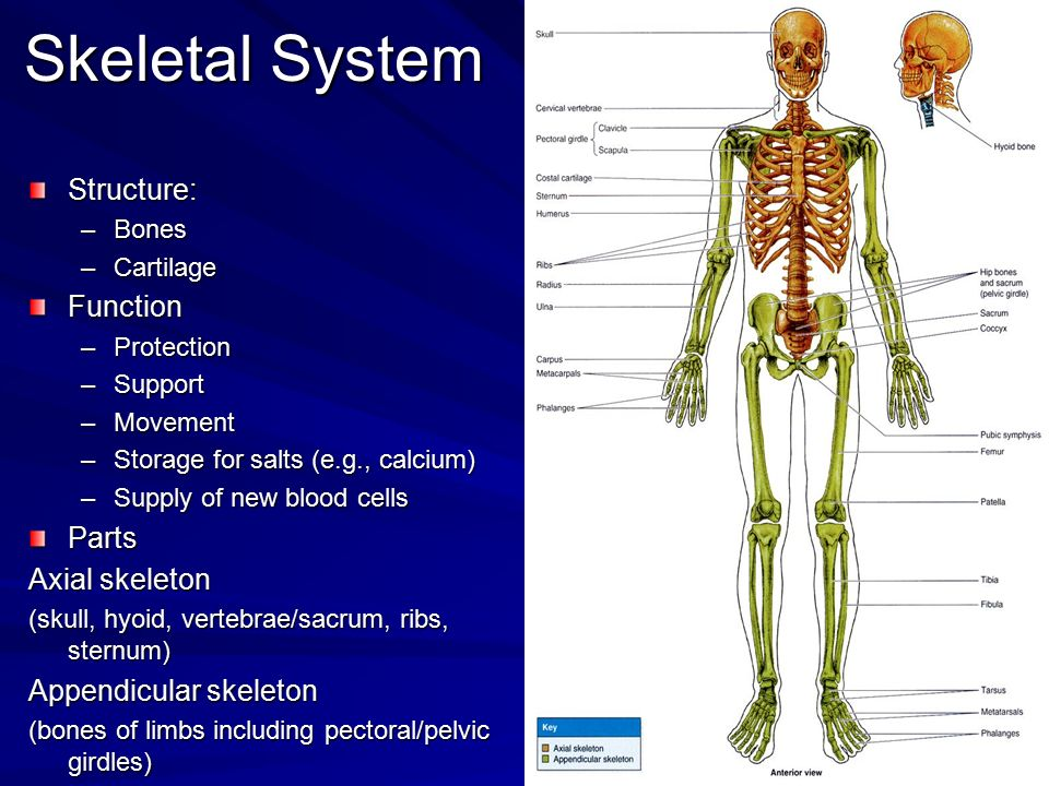 Skeletal System Structure: –Bones –Cartilage Function –Protection –Support –Movement –Storage for salts (e.g., calcium) –Supply of new blood cells Par