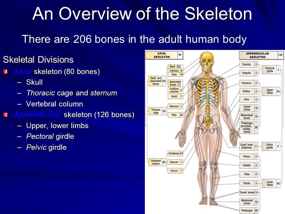 An Overview of the Skeleton Skeletal Divisions Axial skeleton (80 bones) –Skull –Thoracic cage and sternum –Vertebral column Appendicular skeleton (12