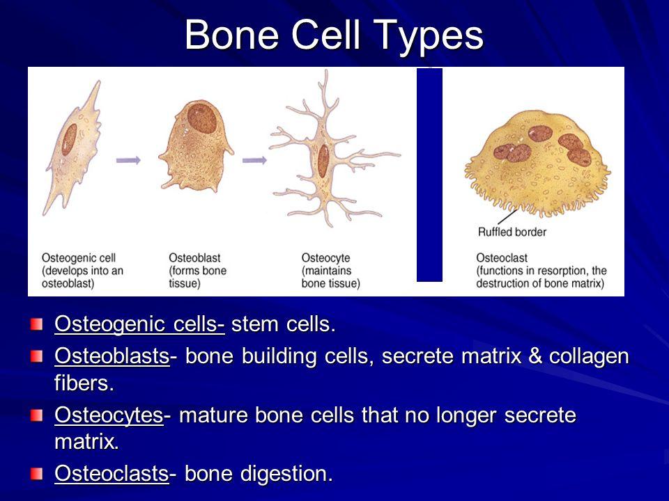 Bone Cell Types Osteogenic cells- stem cells. Osteoblasts- bone building cells, secrete matrix & collagen fibers. Osteocytes- mature bone cells that n