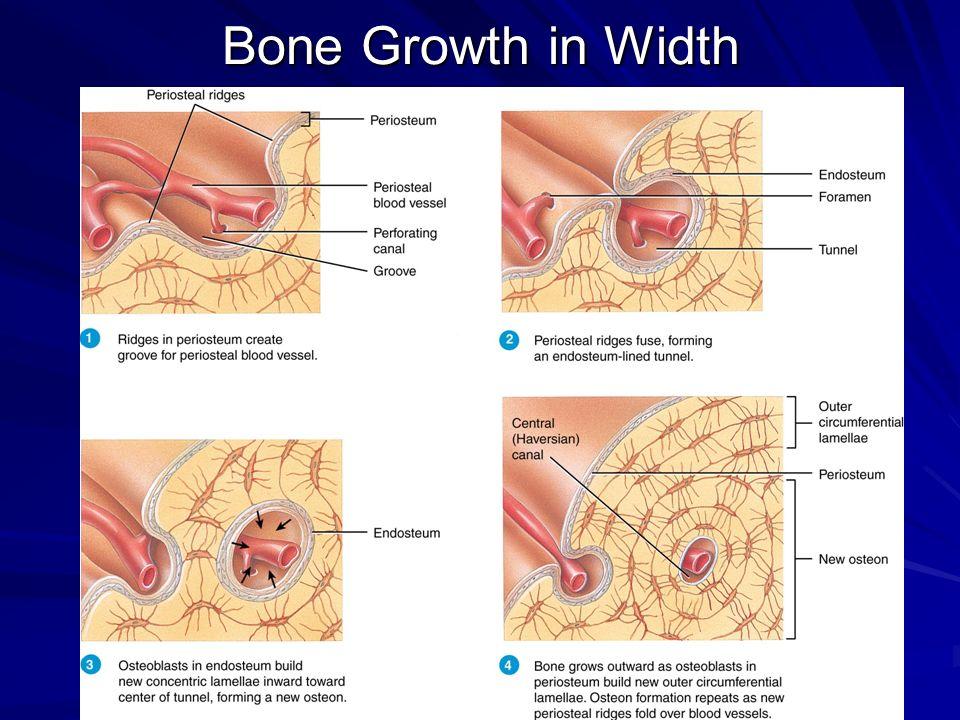 Bone Growth in Width