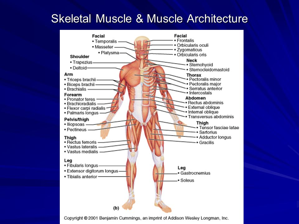 Skeletal Muscle & Muscle Architecture