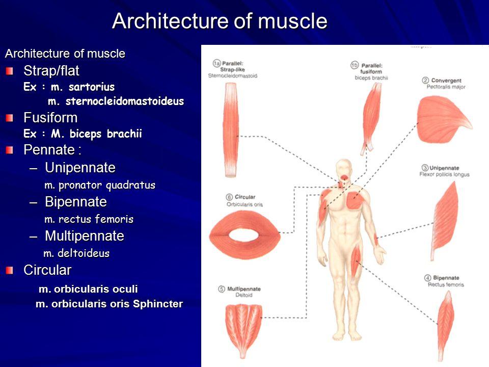Architecture of muscle Strap/flat Ex : m. sartorius m. sternocleidomastoideus m. sternocleidomastoideusFusiform Ex : M. biceps brachii Pennate : –Unip
