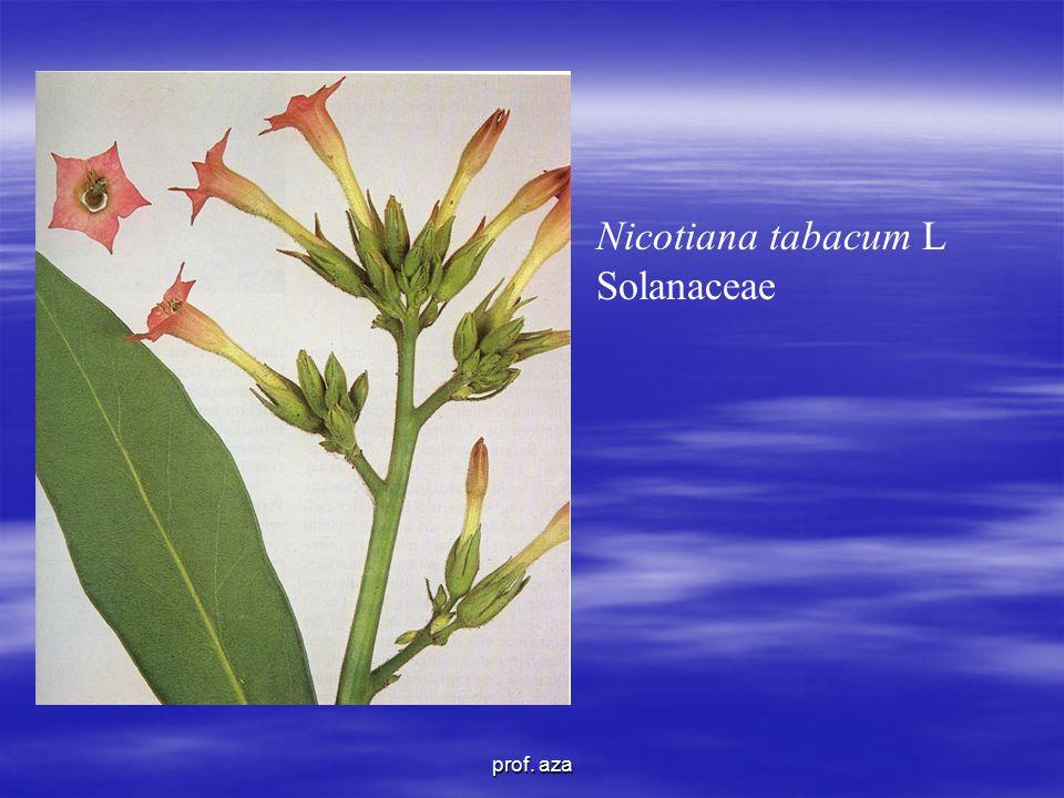 Nicotiana tabacum L Solanaceae prof. aza