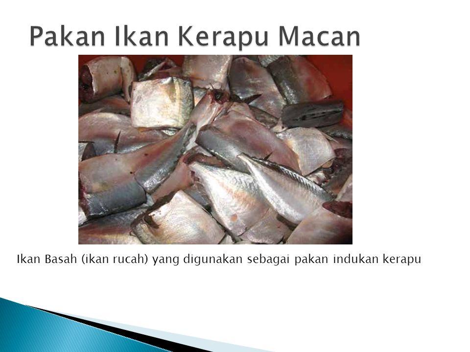 Ikan Basah (ikan rucah) yang digunakan sebagai pakan indukan kerapu