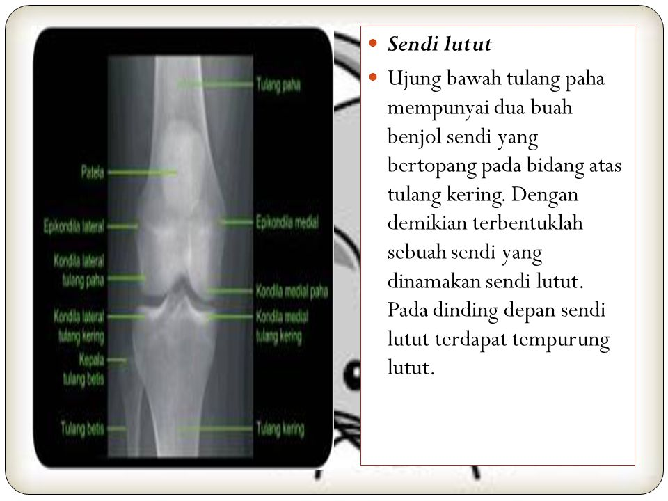 Gelang bahu terdiri atas tulang selangka yang melengkung berupa huruf S, dan tulang belikat yaitu sebuah tulang ceper berbentuk segi tiga. Gelang bahu