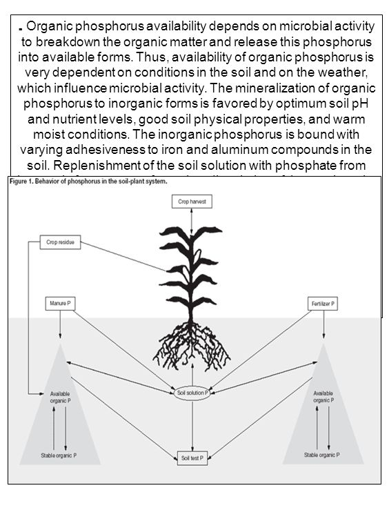 . Organic phosphorus availability depends on microbial activity to breakdown the organic matter and release this phosphorus into available forms. Thus