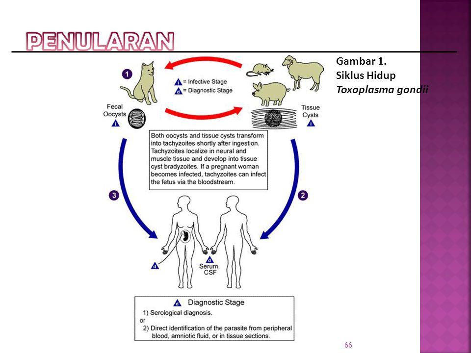 Gambar 1. Siklus Hidup Toxoplasma gondii 66