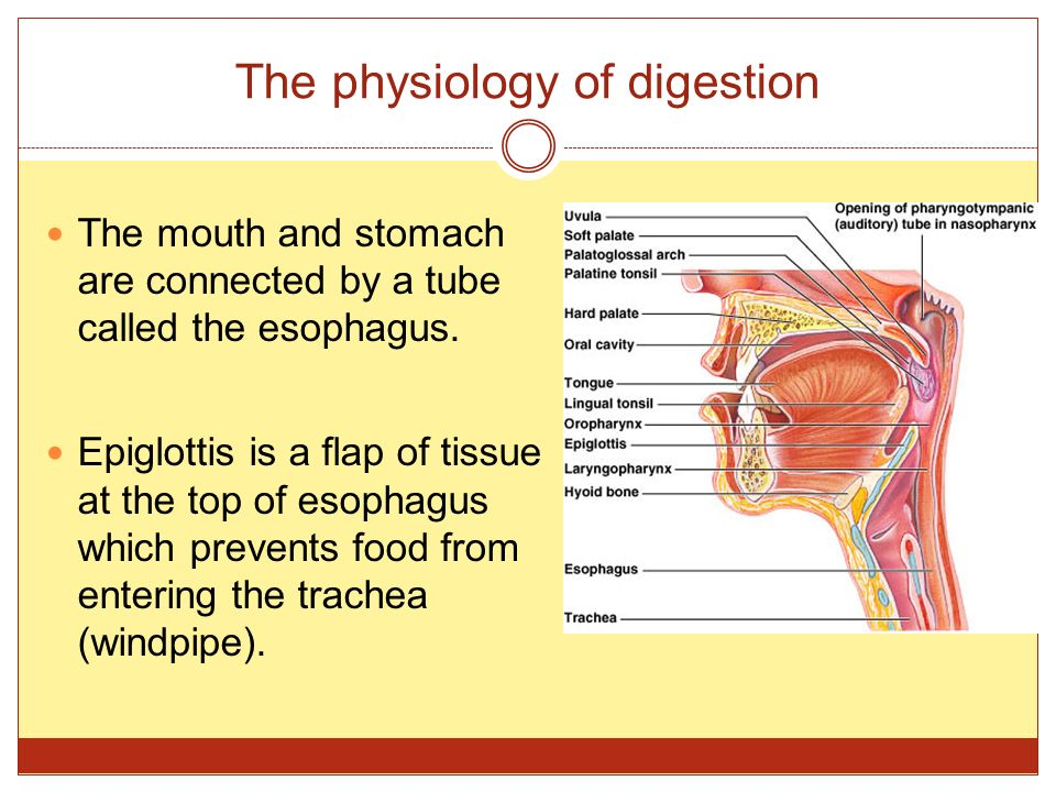 The physiology of digestion The mouth and stomach are connected by a tube called the esophagus. Epiglottis is a flap of tissue at the top of esophagus