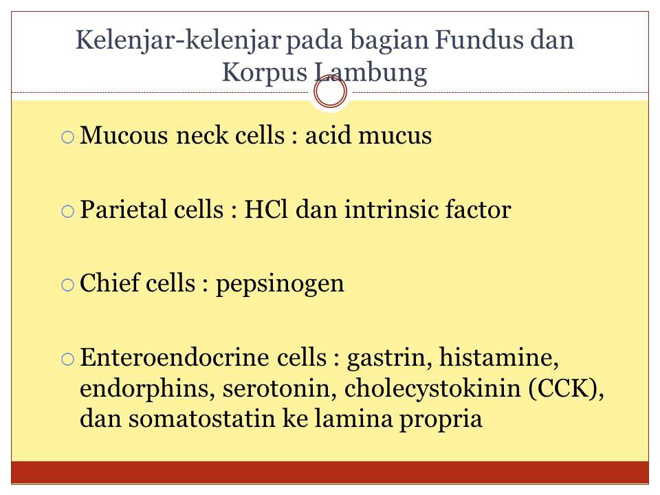 Kelenjar-kelenjar pada bagian Fundus dan Korpus Lambung  Mucous neck cells : acid mucus  Parietal cells : HCl dan intrinsic factor  Chief cells : p