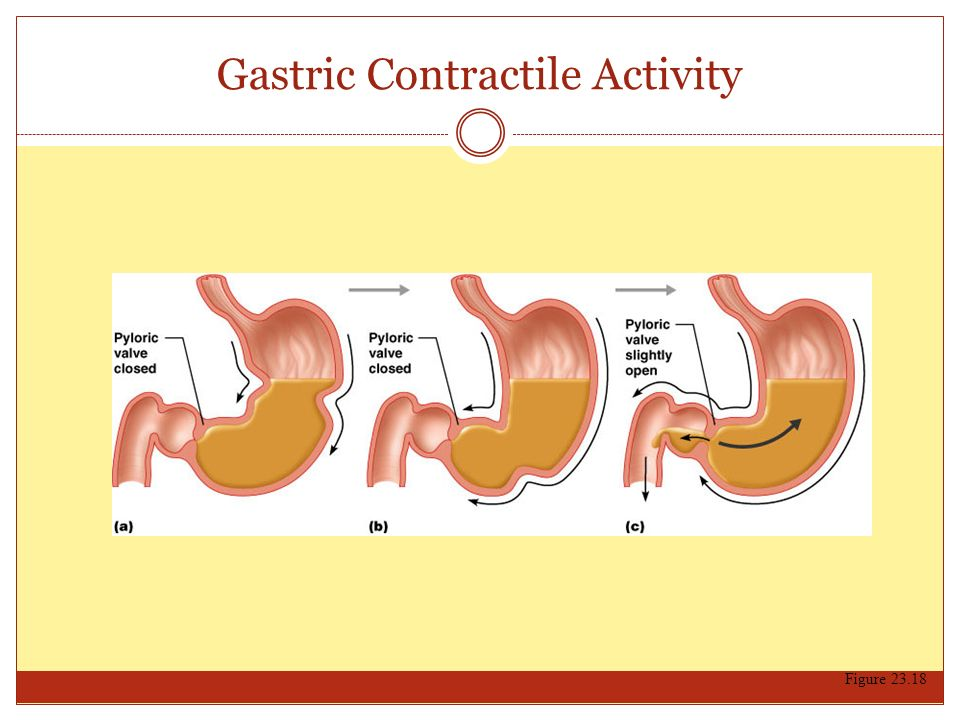 Gastric Contractile Activity Figure 23.18