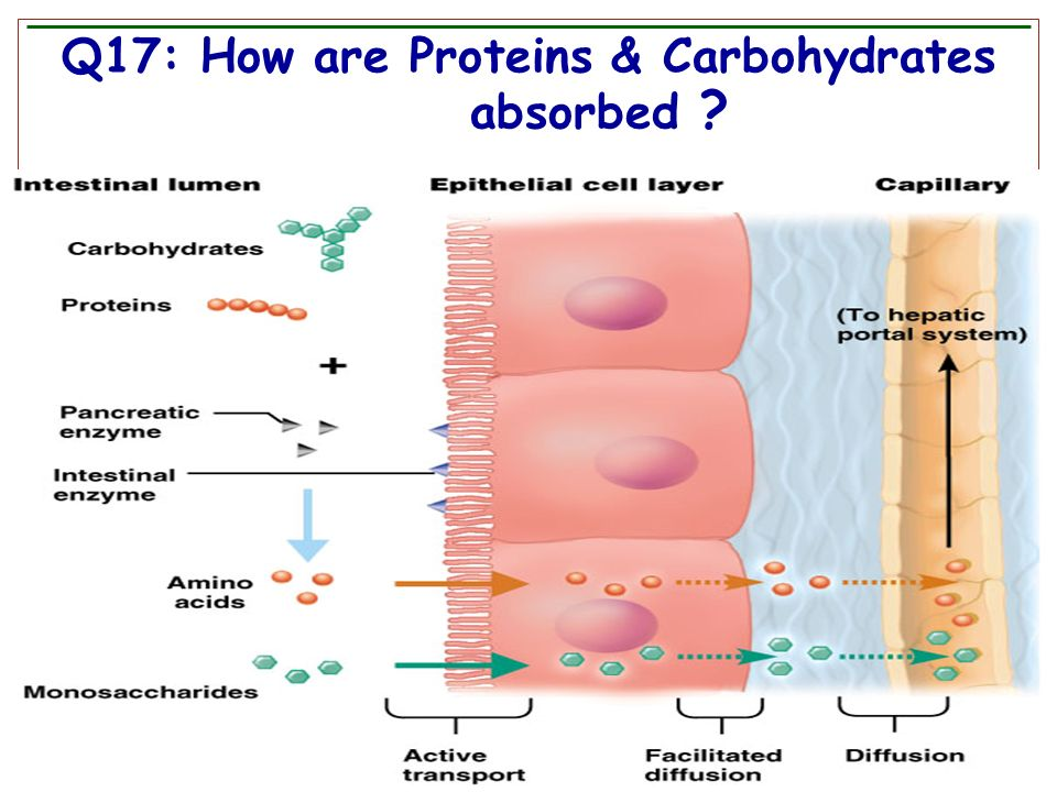 Q17: How are Proteins & Carbohydrates absorbed ?