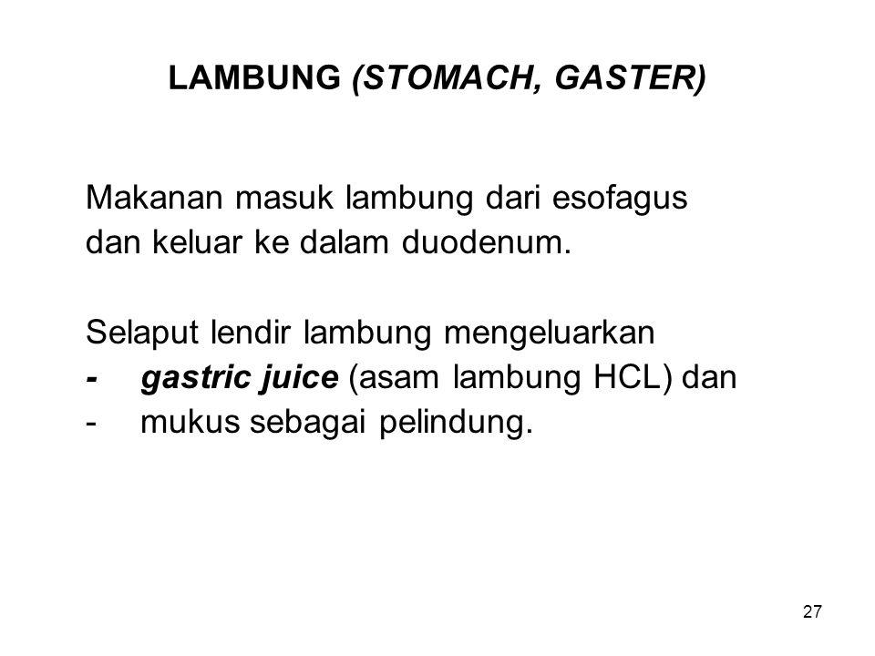 27 LAMBUNG (STOMACH, GASTER) Makanan masuk lambung dari esofagus dan keluar ke dalam duodenum. Selaput lendir lambung mengeluarkan -gastric juice (asa