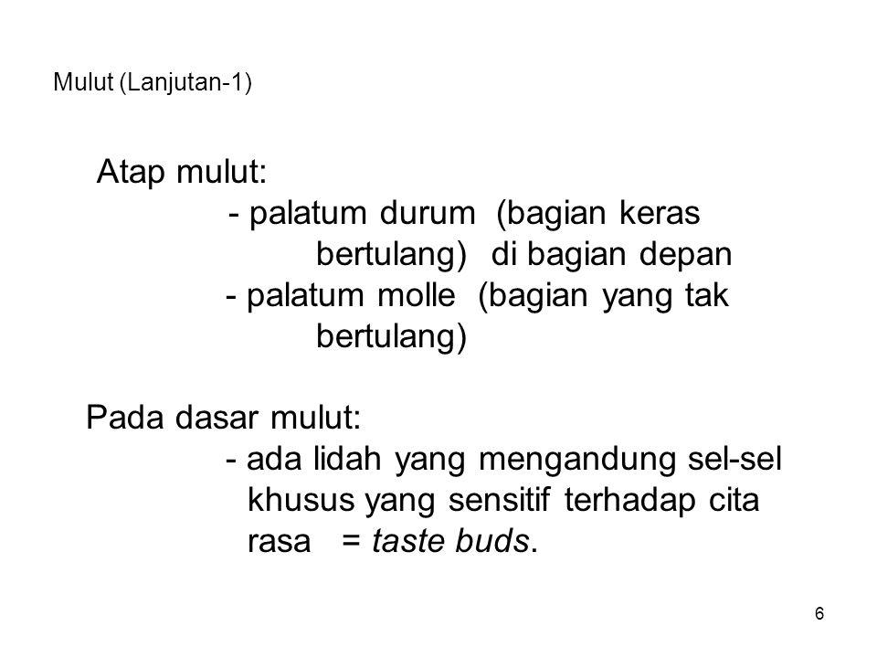 Mulut (Lanjutan-1) Atap mulut: - palatum durum (bagian keras bertulang) di bagian depan - palatum molle (bagian yang tak bertulang) Pada dasar mulut:
