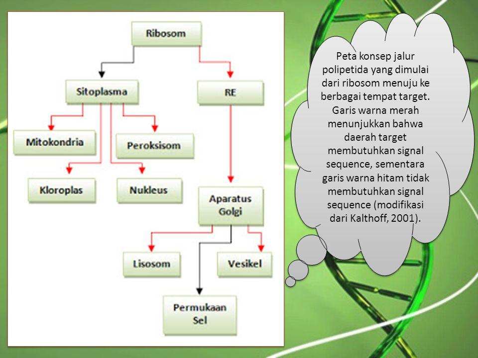 Peta konsep jalur polipetida yang dimulai dari ribosom menuju ke berbagai tempat target.