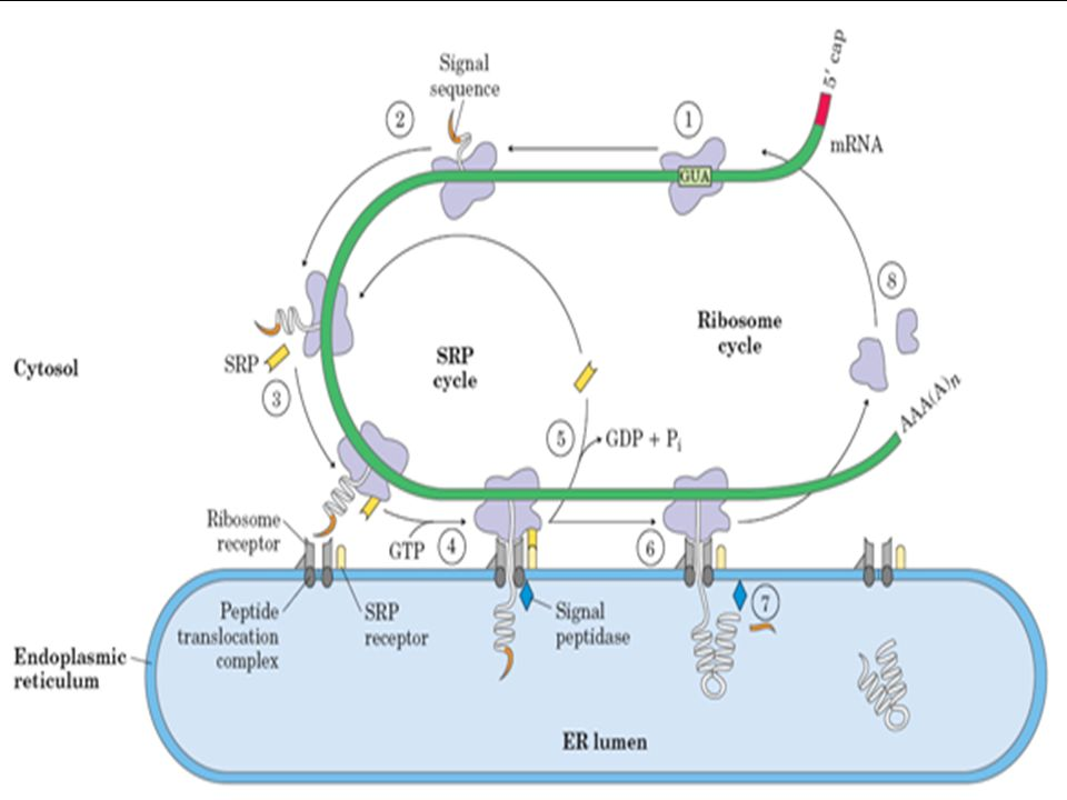 Transpor Protein Menuju Badan Golgi Untuk mentransfer protein yang sudah terlipat dari retikulum endoplasma menuju badan golgi, maka diperlukan perantara berupa vesikel yang akan menjembatani antar orgenel tersebut.