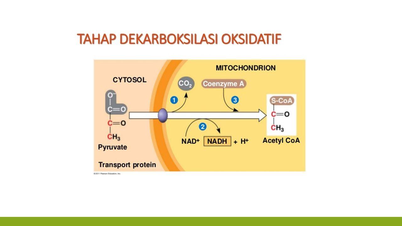 SIKLUS ASAM SITRAT ▪ Terjadi di : matriks mitokondria ▪ Hasil  4 CO2 ▪ Asam sitrat berlangsung dalam 2 siklus  total 25 ATP, artinya 1 siklus= 12 ATP, dan 1 ATP untuk transfer elektron