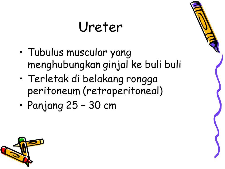 Ureter Tubulus muscular yang menghubungkan ginjal ke buli buli Terletak di belakang rongga peritoneum (retroperitoneal) Panjang 25 – 30 cm