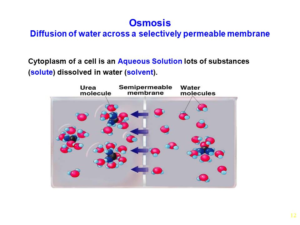 12 Osmosis Diffusion of water across a selectively permeable membrane Cytoplasm of a cell is an Aqueous Solution lots of substances (solute) dissolved in water (solvent).