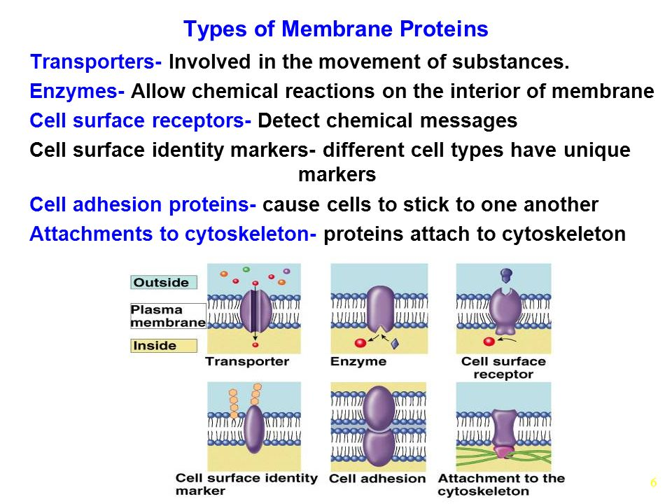 6 Types of Membrane Proteins Transporters- Involved in the movement of substances. Enzymes- Allow chemical reactions on the interior of membrane Cell