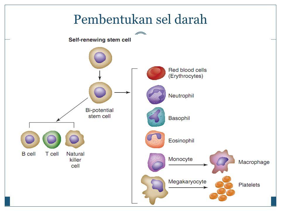 Pembentukan sel darah
