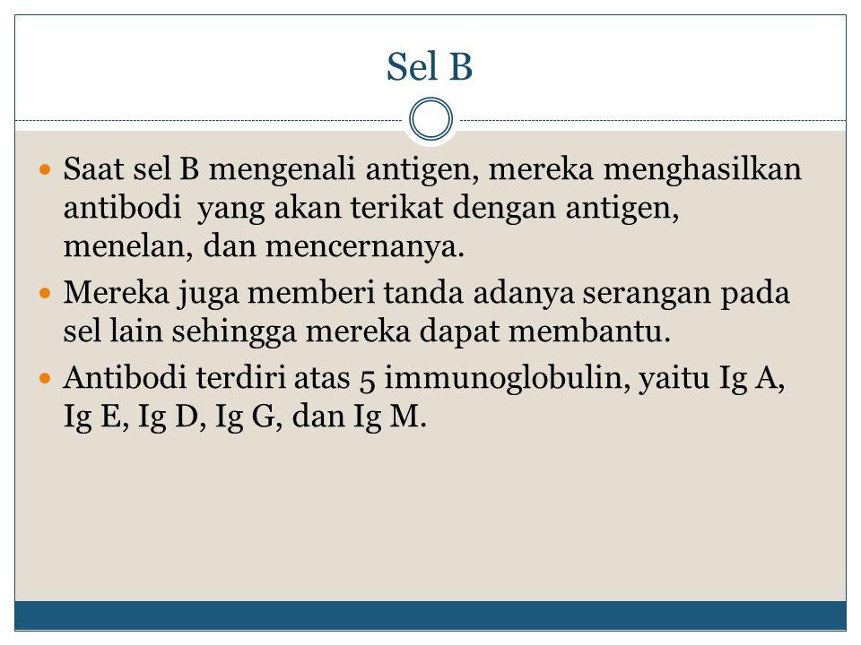 Sel B Saat sel B mengenali antigen, mereka menghasilkan antibodi yang akan terikat dengan antigen, menelan, dan mencernanya. Mereka juga memberi tanda