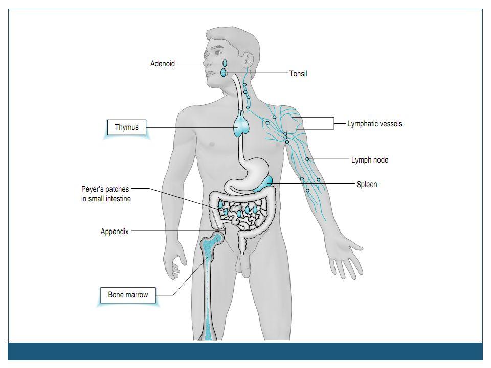 SEL-SEL SISTEM IMUN Sel darah putih berasal dari sum-sum tulang sebagai stem cells.