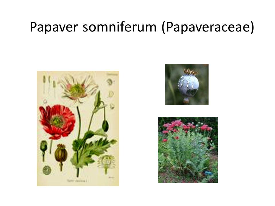 Papaver somniferum (Papaveraceae)