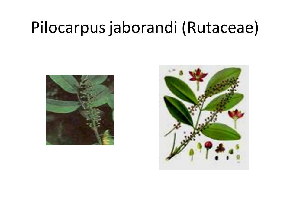 Pilocarpus jaborandi (Rutaceae)