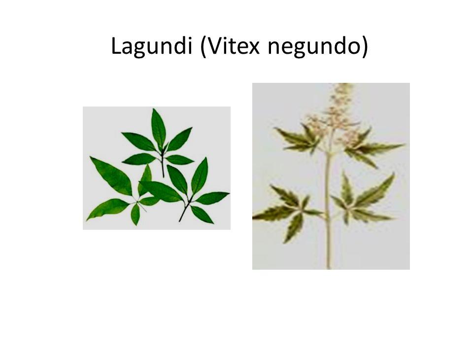 Lagundi (Vitex negundo)