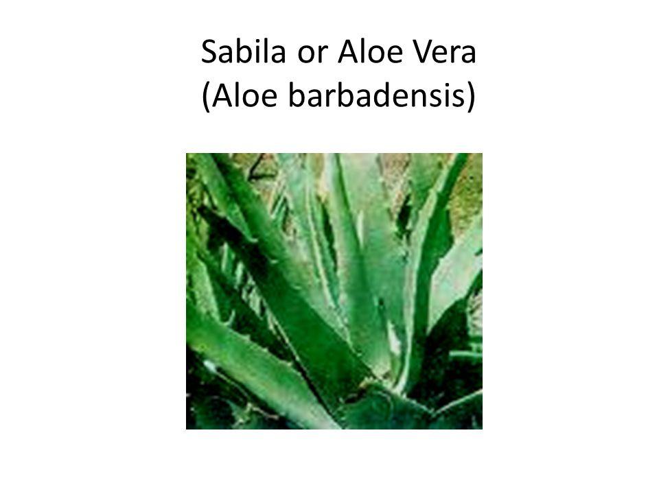 Sabila or Aloe Vera (Aloe barbadensis)